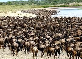 serengeti_wildebeest