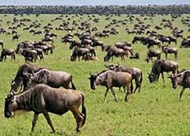 serengeti_wildebeest2